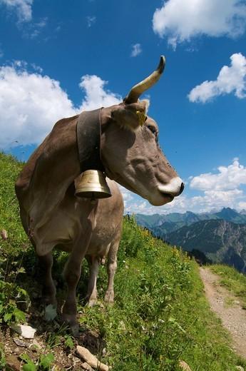 Stock Photo: 1848-440644 Cow, Schlappoltalm, alpine meadow on Fellhorn Mountain, Oberstdorf, Allgaeu, Bavaria, Germany, Europe