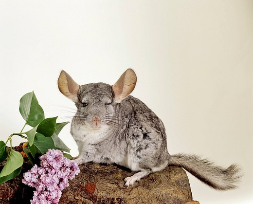 Long_tailed Chinchilla Chinchilla lanigera : Stock Photo
