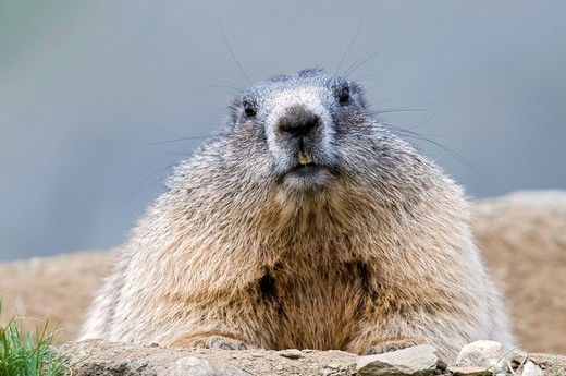 Stock Photo: 1848-441764 Marmot Marmota marmota, Nationalpark Hohe Tauern National Park, Carinthia, Austria, Europe