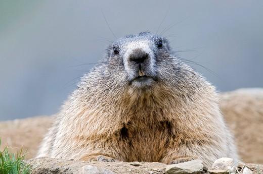 Marmot Marmota marmota, Nationalpark Hohe Tauern National Park, Carinthia, Austria, Europe : Stock Photo