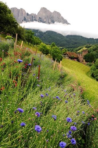 Herb farm, Pflegerhof farm, Castelrotto, South Tyrol, Italy, Europe : Stock Photo