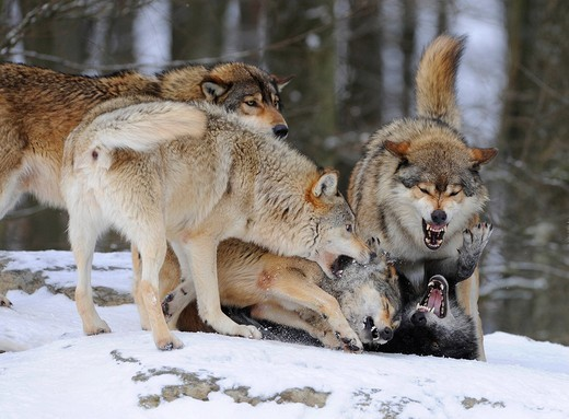 Reprimand of a lower ranked wolf by an alpha of the pack, fighting, Mackenzie Wolf, Alaskan Tundra Wolf or Canadian Timber Wolf Canis lupus occidentalis in the snow : Stock Photo