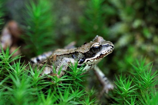 Moor Frog Rana arvalis sitting in moss : Stock Photo