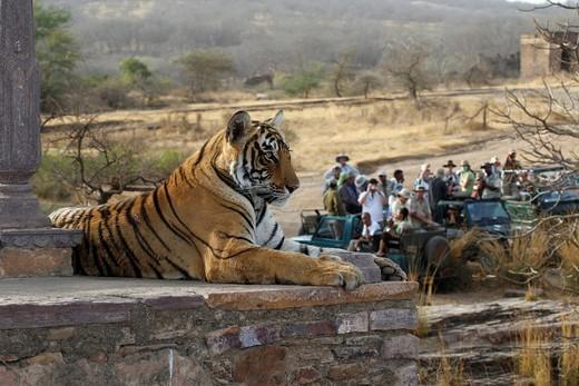 Bengal Tiger Panthera tigris tigris, India : Stock Photo