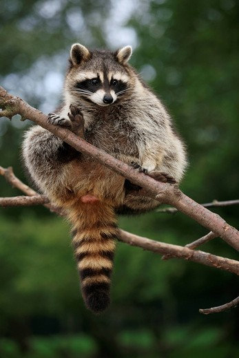Stock Photo: 1848-444466 Raccoon Procyon lotor