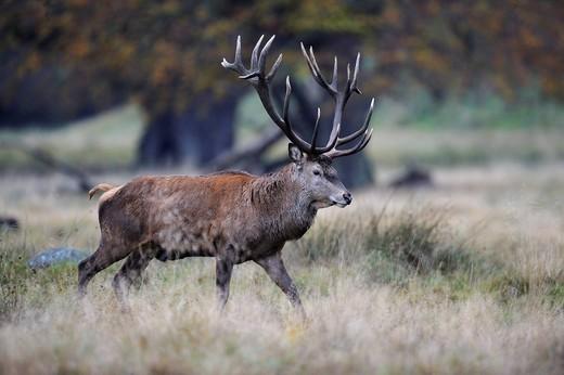 Stock Photo: 1848-445193 Red Deer Cervus elaphus stag, Jaegersborg, Denmark, Scandinavia, Europe