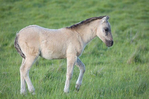 Konik, back breeding of the Tarpan or Eurasian wild horse, foal : Stock Photo
