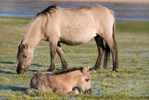 Konik, back breeding of the Tarpan or Eurasian wild horse, mare and foal : Stock Photo