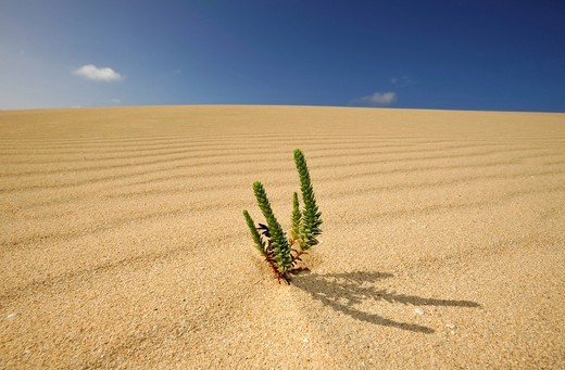 Stock Photo: 1848-445590 Symbolic image of life in the desert, Large Yellow Restharrow Ononis natrix in the Dunes of Corralejo national park, Fuerteventura, Canary Islands, Spain, Europe