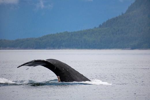 Humpback Whale Megaptera novaeangliae, fin, Pacific Ocean, Lynn Canal, Admiralty Iceland, Juneau, Alaska : Stock Photo