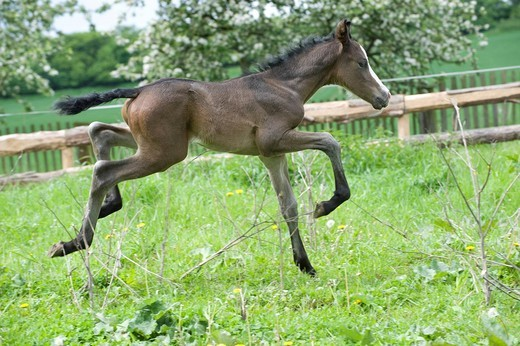Stock Photo: 1848-446190 3 day old colt, Andalusian x Paint Horse, brown with blaze, leaping