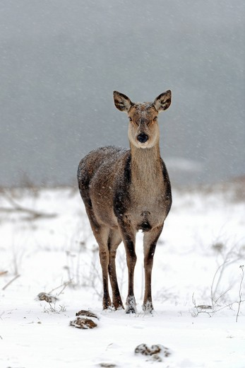 Stock Photo: 1848-446266 Red deer, hind Cervus elaphus, during a heavy snowstorm