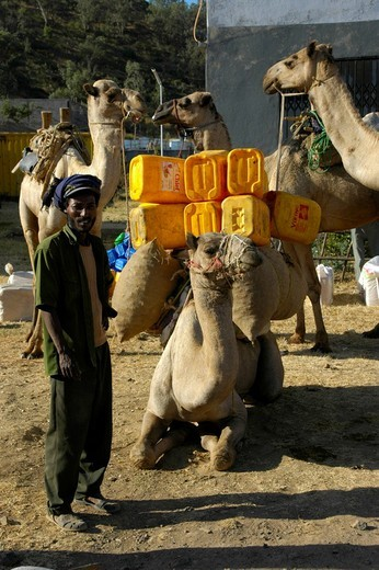 Camels being loaded with yellow plastic containers near Aksum, Ethiopia, Africa : Stock Photo