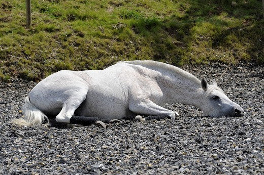 Partbred Arab horse rolling on the ground, lying : Stock Photo