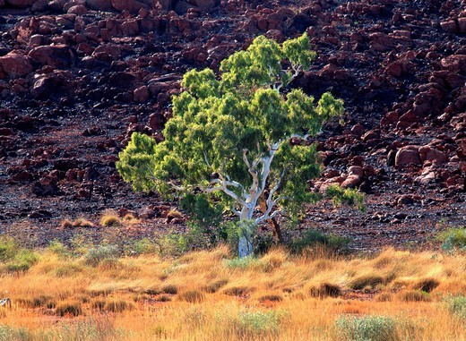 Stock Photo: 1848-446966 Eucalyptus Gum Tree, Pilbara, Northwest Australia