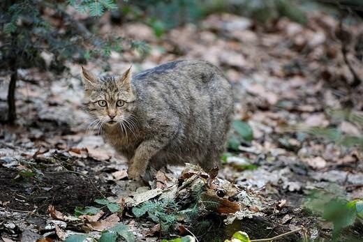 Stock Photo: 1848-447225 European Wildcat Felis silvestris wandering through its territory