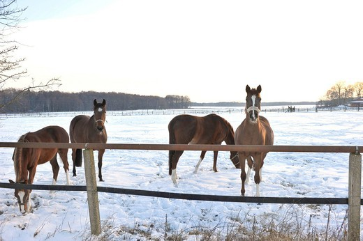 Horses on a snow_covered pasture : Stock Photo