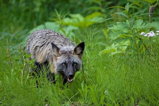 Red Fox Vulpes vulpes, cross phase, rare colour variant, British Columbia, Canada : Stock Photo