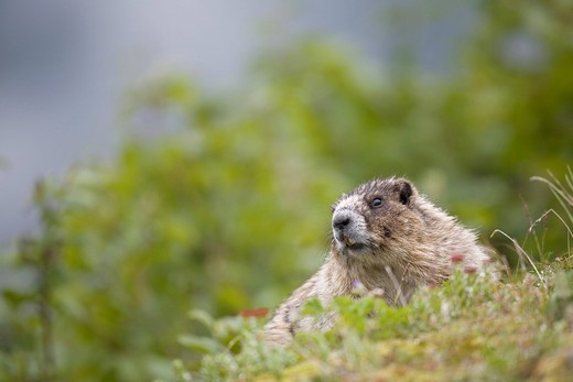 Hoary Marmot Marmota caligata, Mt. Roberts, Southeast Alaska : Stock Photo