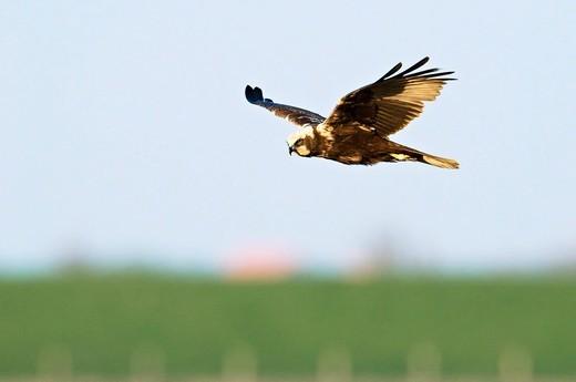 Western Marsh Harrier Circus aeruginosus : Stock Photo