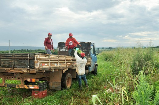 Field work, harvesting okra, COOPAC cooperative, settlement of the Brazilian Landless Workers´ Movement Movimento dos Trabalhadores Rurais sem Terra, MST, Assentamento 14 de Agosto, Campo Verde, Mato Grosso, Brazil, South America : Stock Photo