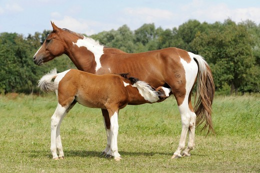 German Riding Pony, mare with foal, suckling : Stock Photo