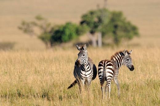 Grant´s Zebras Equus quagga boehmi, Masai Mara Nature Reserve, Kenya, East Africa : Stock Photo