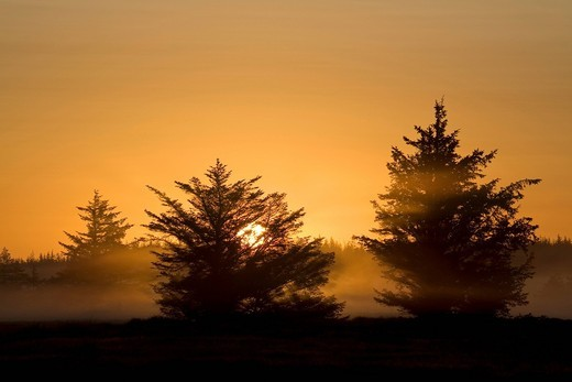 Red Spruces Picea rubens in morning light, Denmark, Europe : Stock Photo
