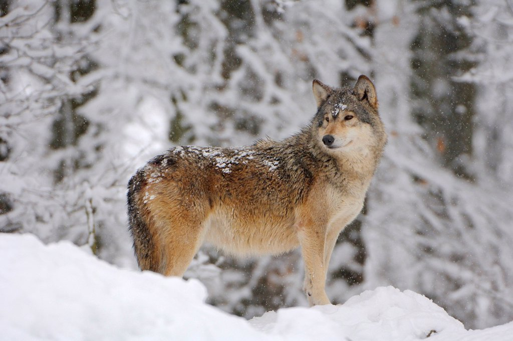 Stock Photo: 1848-448913 Canadian Wolf Canis lupus occidentalis