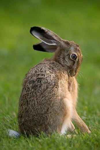 Brown Hare, European Hare Lepus europaeus, Germany : Stock Photo