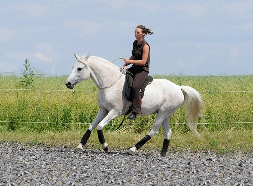 Rider, young woman with Partbred Arabian, riding with a neck ring, bareback, with saddle pad, pad, trot : Stock Photo