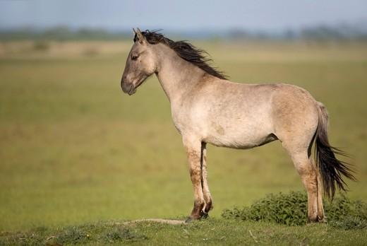 Konik, back breeding of the Tarpan or Eurasian wild horse, stallion : Stock Photo