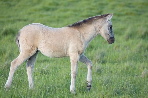 Konik, back breeding of the Tarpan or Eurasian wild horse, foal : Stock Photo