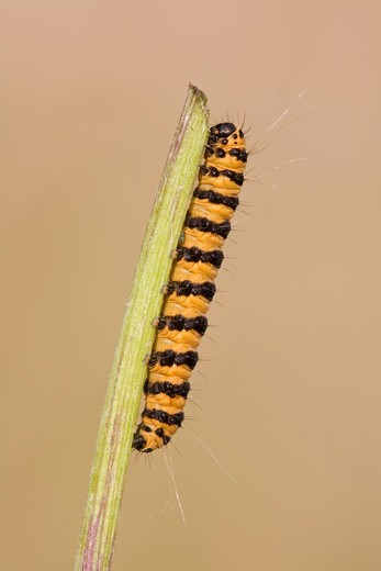 Cinnabar Moth Tyria jacobaea, caterpillar : Stock Photo