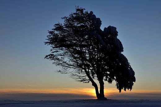 European Beech or Common Beech Fagus sylvatica, distorted by wind and snow and frost, in front of the sunset, Schauinsland Mountain, Black Forest, Breisgau_Hochschwarzwald, Baden_Wuerttemberg, Germany, Europe : Stock Photo