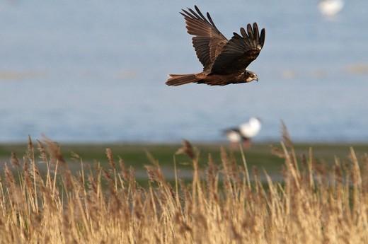 Stock Photo: 1848-452432 Western Marsh Harrier Circus aeruginosus