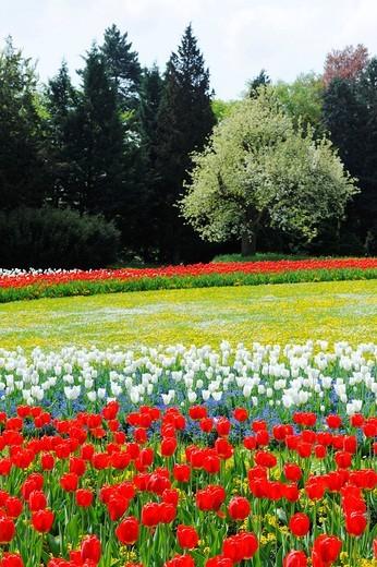 Bed of tulips in Killesbergpark, Stuttgart, Baden_Wuerttemberg, Germany, Europe : Stock Photo