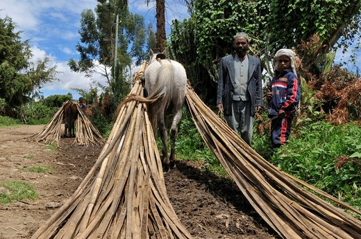 African man with boy and horse carrying Bamboo, Dodola, Bale Mountains, Oromia, Ethiopia, Africa : Stock Photo
