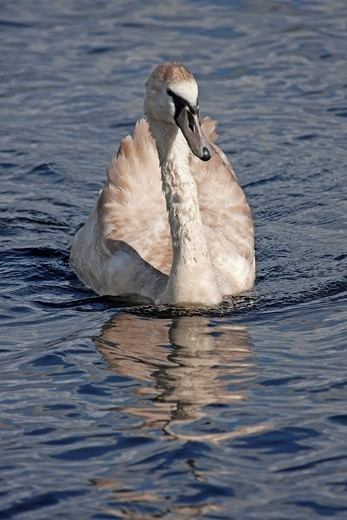 Stock Photo: 1848-455934 Juvenile Mute swan Cygnus olor