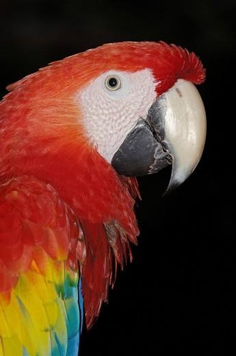 Stock Photo: 1848-456598 Scarlet Macaw Ara macao, Xcaret, eco_archeological park, Playa del Carmen, Quintana Roo state, Mayan Riviera, Yucatan Peninsula, Mexico