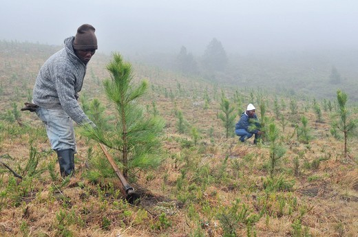 Labourer loosening the soil with a hoe, reforestation, creation of a pine forest in the rugged mountains near Cata_Village in the former homeland of Ciskei, Eastern Cape, South Africa, Africa : Stock Photo