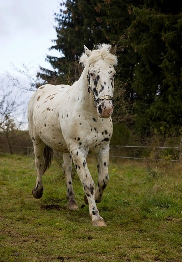 Stock Photo: 1848-457193 Appaloosa gelding with a leopard_spotted coat pattern, volcanic Eifel, Rhineland_Palatinate, Germany