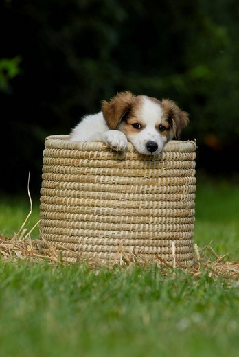 Stock Photo: 1848-458103 Kromfohrlaender puppy sitting in a wicker basket