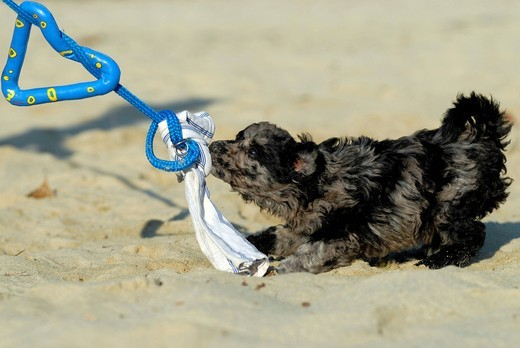 Mudi puppy, 6 weeks, playing with a dog toy : Stock Photo