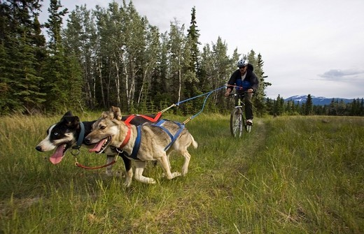 Alaskan Huskies pulling a mountain bike, man bikejoring, bikejoering, dog sport, dry land sled dog race, Yukon Territory, Canada : Stock Photo
