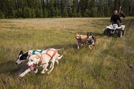 Team of Alaskan Huskies pulling a quad, four_wheeler, woman, dog sport, dry land sled dog race, Yukon Territory, Canada : Stock Photo