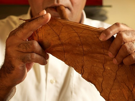 Cuban cigar roller examining a tobacco leaf for the manufacture of cigars : Stock Photo