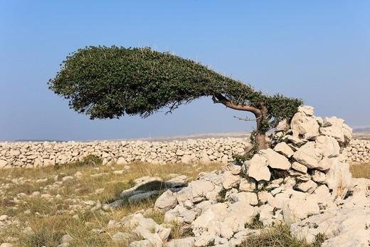 Wind_shaped tree, Pag island, Dalmatia, Adriatic Sea, Croatia, Europe : Stock Photo