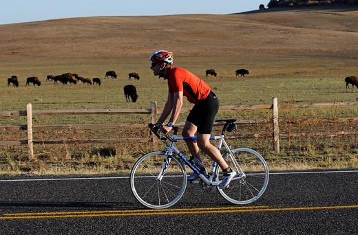 Race cyclist, bison herd, Mt Caramel, Utah, USA : Stock Photo