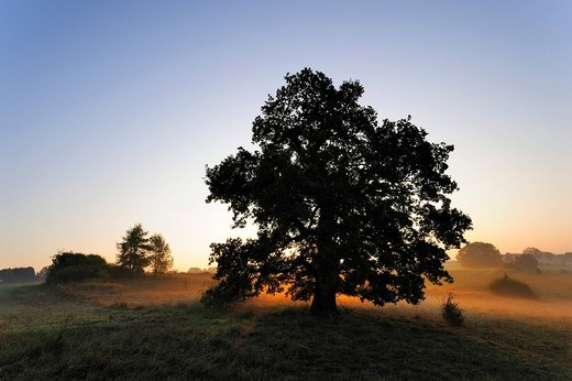 English Oak Quercus robur, autumnal landscape, Swabian Alb, Baden_Wuerttemberg, Germany, Europe : Stock Photo